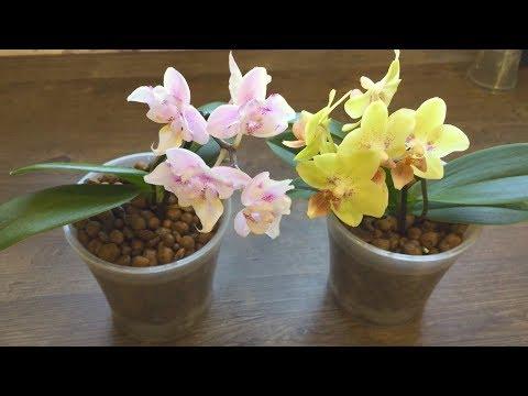 как орхидея в керамзите поливается