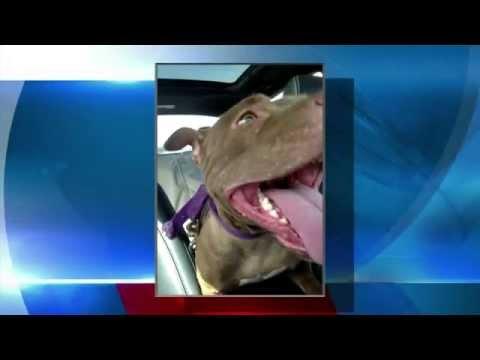 Suspected of dog fighting has prior violations involving Pit Bulls - NY Buffalo news buffalo weather