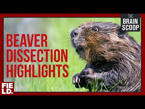 Beaver Dissection HIGHLIGHTS!
