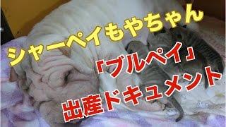 先日のもやちゃんの出産ドキュメント動画です! シャーペイは、ギネスブ...