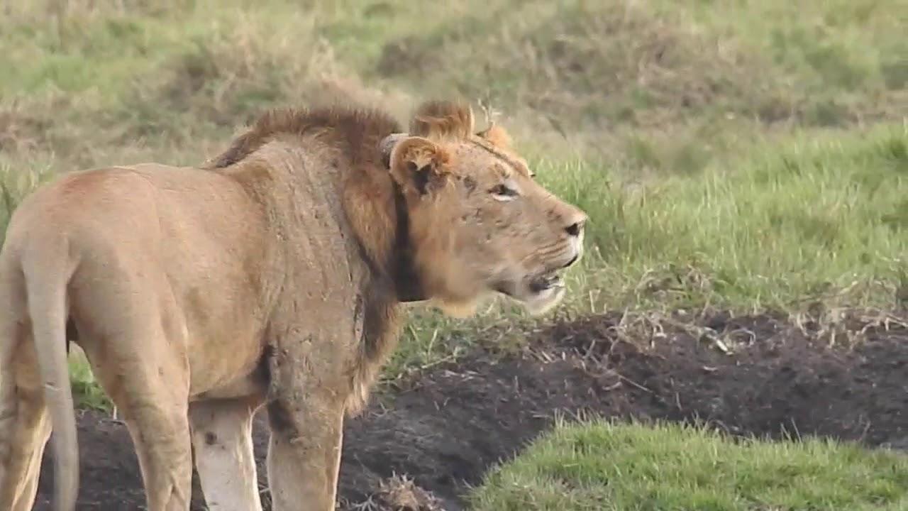 Lions Roaring - Male Lion vs Lioness - YouTube