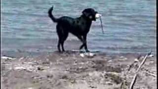 Hunting Retriever Training - Sit Whistle Stop