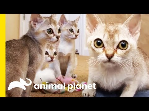 The Tiny Singapura Is The Smallest Of All Cat Breeds | Cats 101
