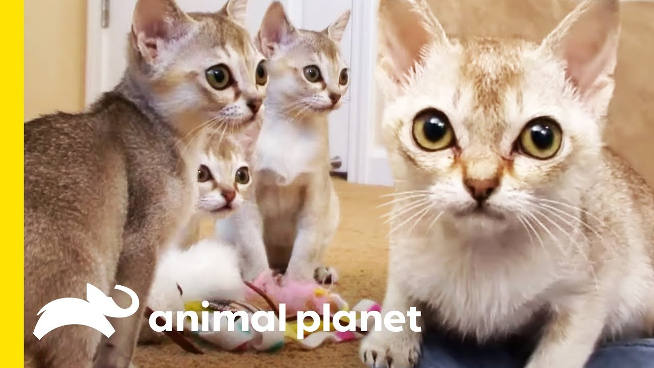 Download The Tiny Singapura Is The Smallest Of All Cat Breeds | Cats 101