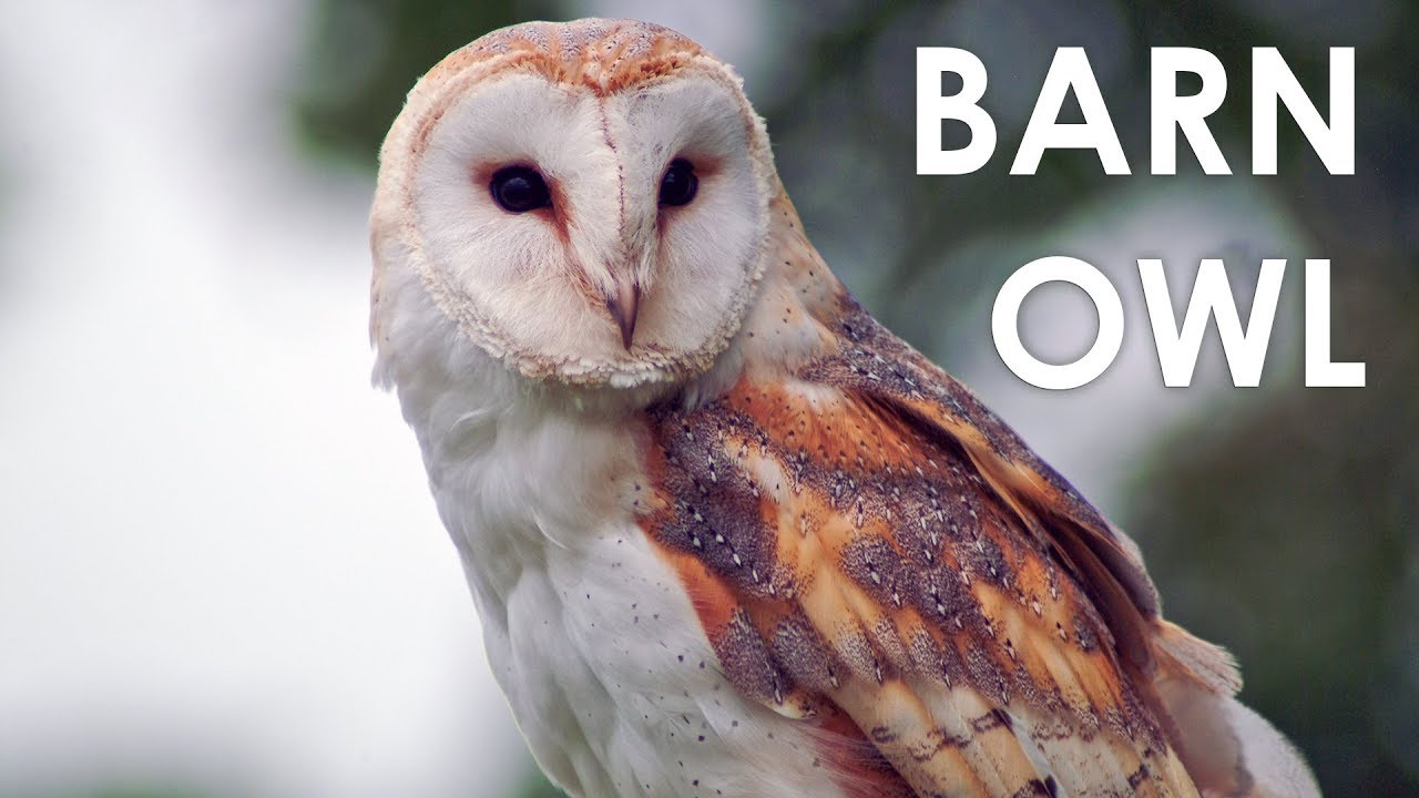 What Does A Barn Owl Sound Like Youtube