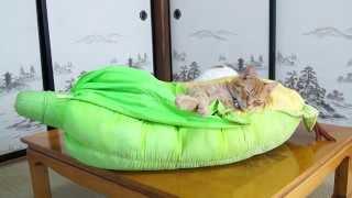 とうもろこしクッションで眠るねこ Cat and corn pillows