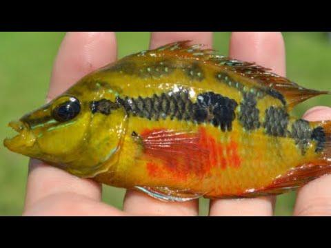 RARE SALVINI JEWEL FISH CAUGHT IN MIAMI /PEN ROD SETUP AND SLAY