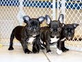 French Bulldog, Frenchie, Puppies, Dogs, For Sale, In Nashville, Tennessee, TN, 19Breeders, Bartlett