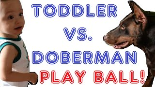 Toddler Vs. Red Doberman Pinscher In A Ball Game....who Do You Think Will Win?