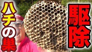 【超危険】スズメバチ疑惑の巣を撤去しに行こうとしたら大量発生していた