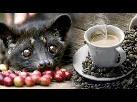 World Most Expensive Coffee बनती है Civet नामक पशु की पोटी से जरूर देखें !!