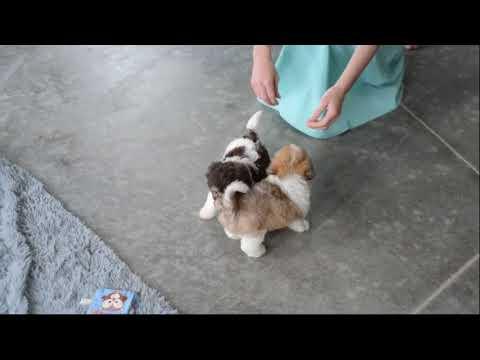 Havanese Puppies For Sale Allen Wengerd