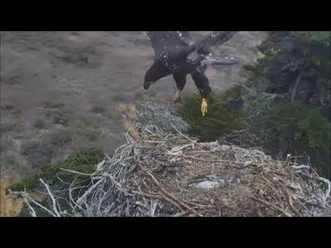 Sauces Bald Eagles- Eaglet Does Some Major...