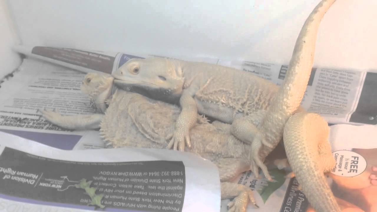 Bearded Dragon Juveniles