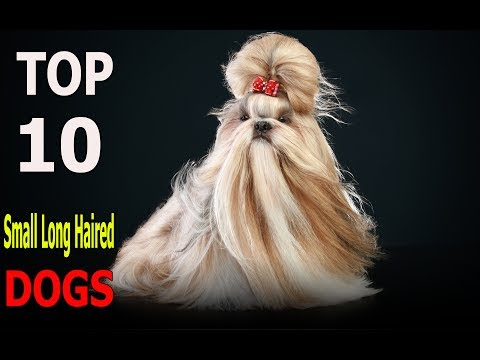 Top 10 Small Long Haired Dog Breeds | Top 10 animals
