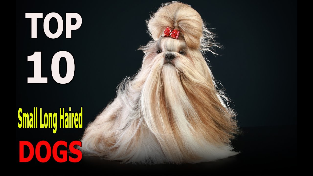 Top 10 Small Long Haired Dog Breeds Top 10 Animals