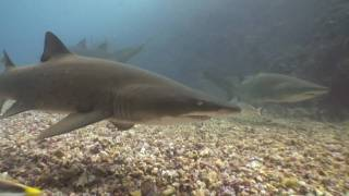 Grey Nurse Sharks