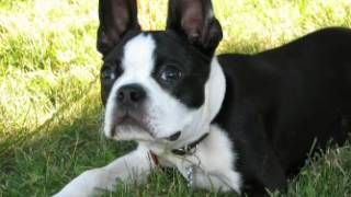 Boston Terrier Facts - Facts About Boston Terriers