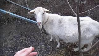 коза  беременная делает шарики кошка нюхает
