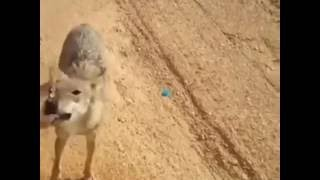 WATCH: A man gives water to thirsty desert wolf