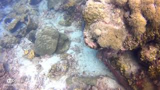 Bluespotted Ribbontail Ray in Koh Tao with Koh Tao Scuba Club