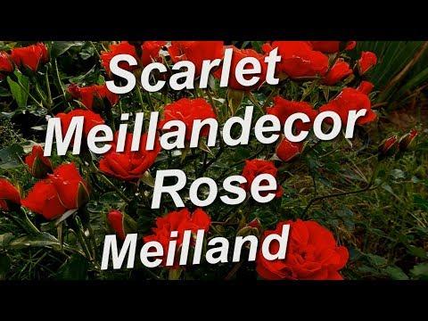 Scarlet Meillandecor Rose Meilland