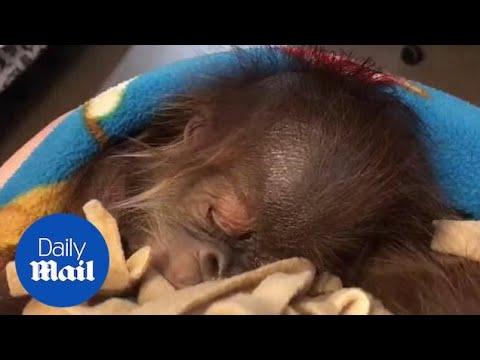 Moment Cute Baby Orangutan Keeps Hiccuping While Sleeping