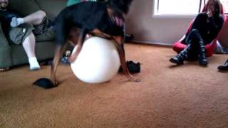 Rottweiler Playing With Exercise Ball