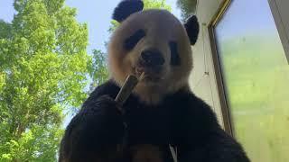 #NatZooZen: Giant Panda Tian Tian Munches on Bamboo