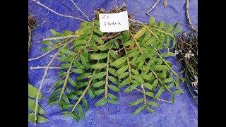 19/11/2018 Lan rừng Cao Bằng, có phi điệp rừng mới về. Giảm giá tất cả các loại lan. Đt 0984754102