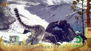 《秘境之眼》 雪豹 20200727| CCTV - YouTube