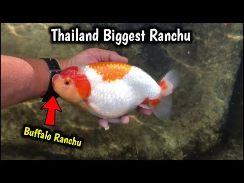 Biggest Buffalo Ranchu | Ranchu Goldfish | Thailand Goldfish Breeder
