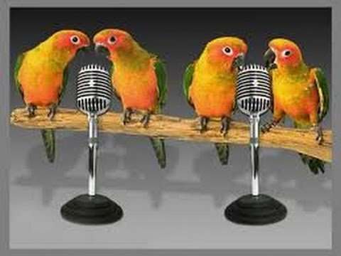 Love Birds Singing Photos, Images, & Pictures 2016| Lovebird Sounds