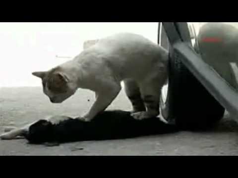 Video Sedih Kucing Yang Berusaha Menghidupkan Kembali Temannya Yang  Ditabrak Mobil