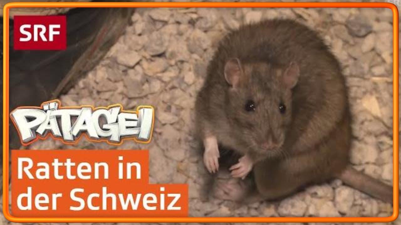 In Der Kanalisation Bei Den Ratten Pätagei In Der Schweiz Youtube