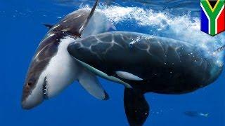 Hiu putih diburu oleh paus pembunuh - Tomonews