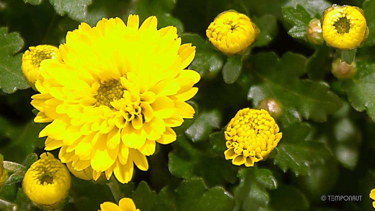Blooming Chrysanthemum Flower Time Lapse Youtube