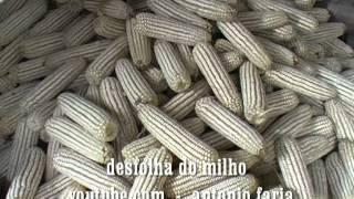 Sementeira do milho ate a confecção do pão  Ilha São Jorge