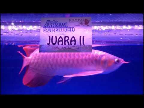 Kontes Arwana Putussibau/Kalimantan Barat/Kapuas Hulu Pada Tgl 6-8 Juli
