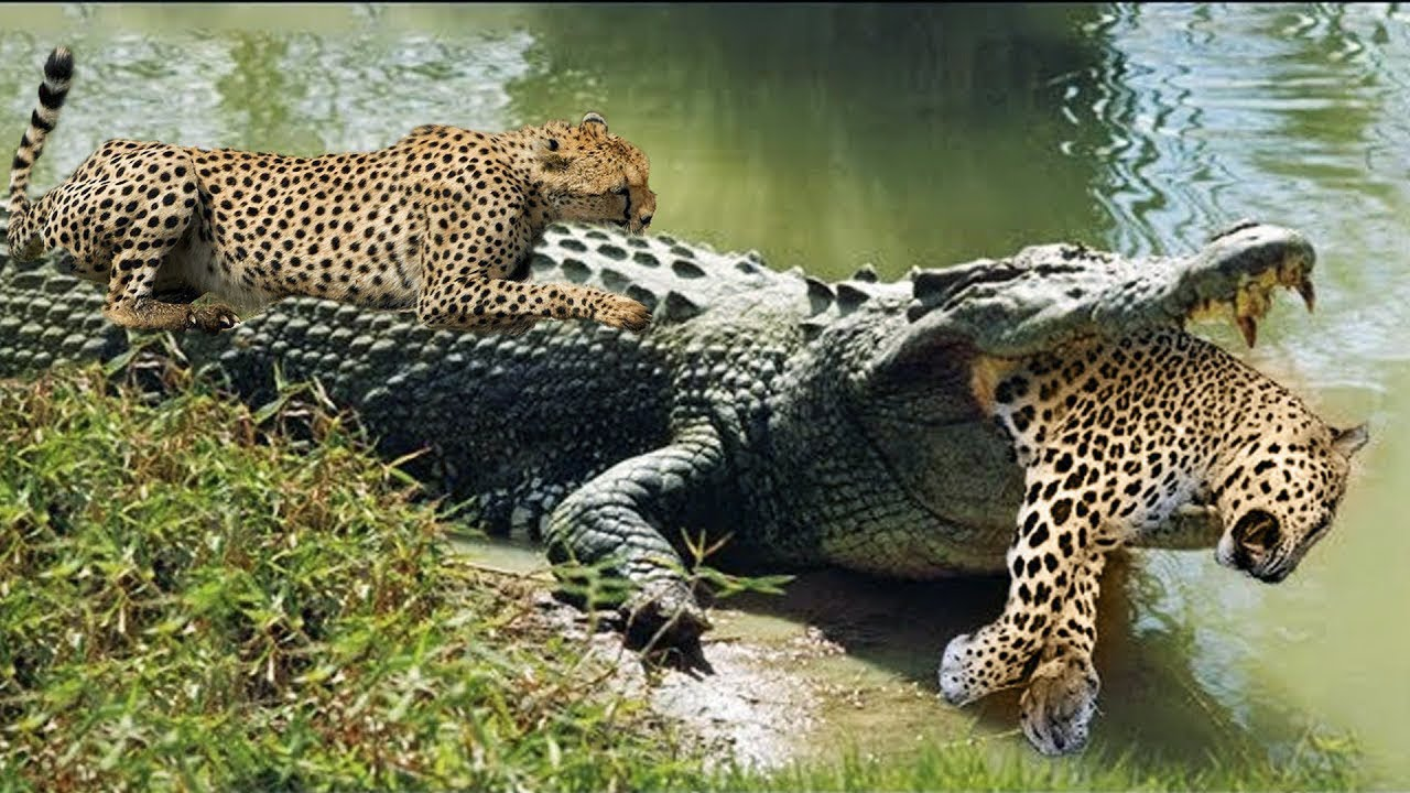 Crocodiles Wait For Leopard Across The River | Harsh Life