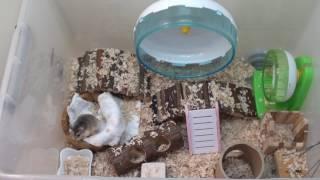 免費領養 倉鼠 小路寶 Free adoption Hamster 햄스터 ハムスター