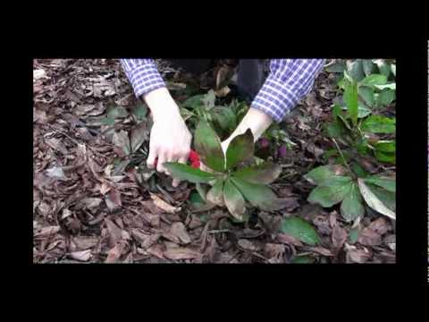 How To Care For Hellebores Winter Pruning Tips Video Youtube