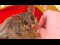 Brush tail possum in care *Australian wildlife