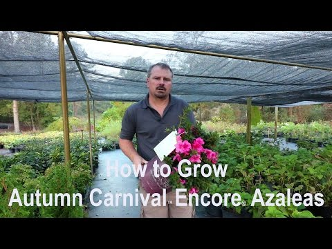 How To Grow Autumn Carnival™ Encore® Azaleas With A Detailed Description