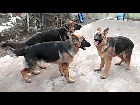 Красивые щенки Немецкой овчарки 6 мес. Beautiful German shepherd puppies 6 months. Одесса.
