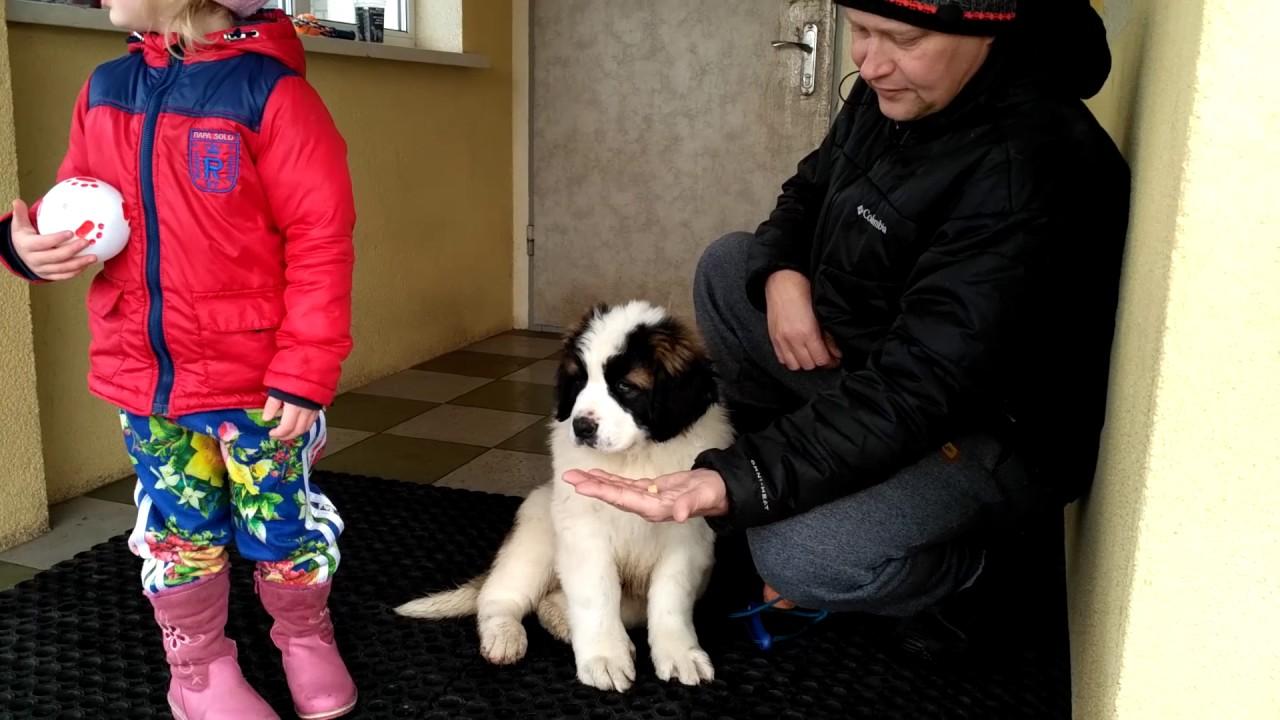 Кормим и дрессируем щенка. Московская сторожевая. - YouTube