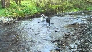 Adorable Siberian Husky Puppy, Springer Spaniel Cross Labrador And Beagle At Play