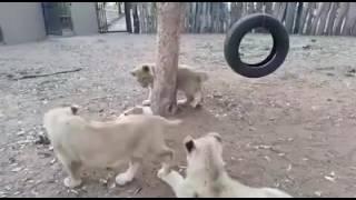 横取り、だめ絶対。子ライオンズVSおやつを守るラッセルテリアの攻防