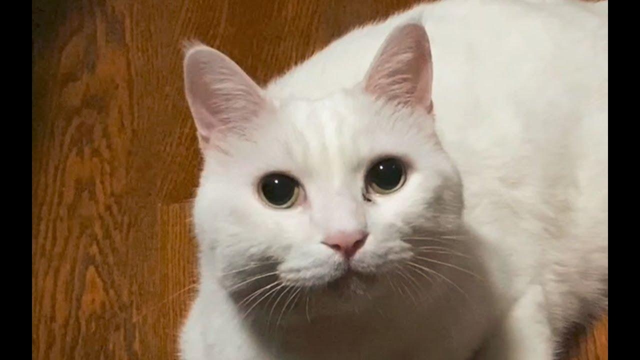 是什么让大咪的高冷猫设再次崩塌?(大咪铁粉慎入!【papi家的大小咪】