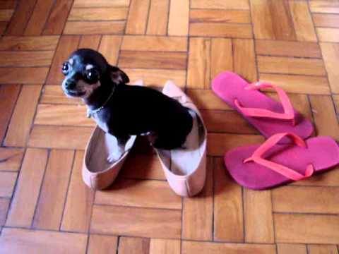 Cachorro para vender pinscher 0